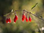 Gojibeere / Gemeiner Bocksdorn / Teufelszwirn 'Sweet Lifeberry ®', 40-60 cm, Lycium barbarum 'Sweet Lifeberry ®', Containerware
