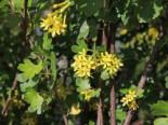 Goldjohannisbeere, 40-60 cm, Ribes aureum, Containerware