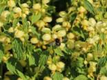 Goldnessel, Lamiastrum galeobdolon, Topfware