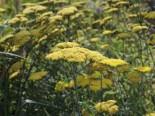 Goldquirl-Garbe 'Moonshine', Achillea clypeolata 'Moonshine', Topfware