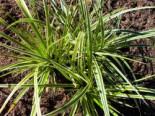 Goldrand Segge 'Aureovariegata', Carex morrowii 'Aureovariegata', Topfware