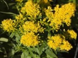 Solidago x cultorum 'Laurin'
