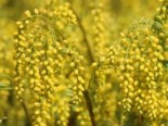 Goldtröpfchen, Chiastophyllum oppositifolium, Topfware