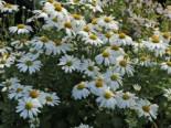 Grönlandmargerite, Arctanthemum arcticum, Topfware