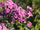 Großblättrige Flammenblume 'Christine', Phlox amplifolia 'Christine', Topfware