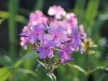 Großblättrige Flammenblume 'Kleiner Augenstern', Phlox amplifolia 'Kleiner Augenstern', Topfware