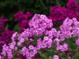 Großblättrige Flammenblume 'Pink Lady', Phlox amplifolia 'Pink Lady', Topfware