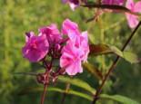 Großblättrige Flammenblume 'Winnetou', Phlox amplifolia 'Winnetou', Topfware