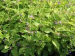 Großblütige Bergminze, Calamintha grandiflora, Topfware