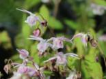 Großblütige Elfenblume 'Akebono', Epimedium grandiflorum 'Akebono', Topfware