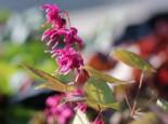 Großblütige Elfenblume 'Rose Queen', Epimedium grandiflorum 'Rose Queen', Topfware