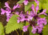 Großblütiger Ziest, Stachys grandiflora, Topfware