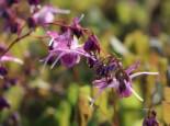 Großblumige Elfenblume 'Lilafee', Epimedium grandiflorum 'Lilafee', Topfware