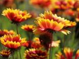 Großblumige Kokardenblume 'Kobold', Gaillardia x grandiflora 'Kobold', Containerware