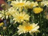 Großblumige Margerite 'Goldfinch', Leucanthemum x superbum 'Goldfinch', Topfware