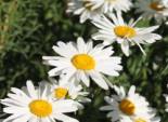 Großblumige Margerite 'Gruppenstolz', Leucanthemum x superbum 'Gruppenstolz', Topfware