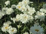 Großblumige Margerite 'Paladin', Leucanthemum x superbum 'Paladin', Topfware