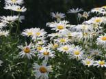Großblumige Margerite 'Silberprinzesschen', Leucanthemum x superbum 'Silberprinzesschen', Topfware