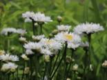 Großblumige Margerite 'Snehurka', Leucanthemum x superbum 'Snehurka', Topfware