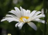 Großblumige Margerite 'Starburst', Leucanthemum x superbum 'Starburst', Topfware
