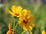 Großblumiges Mädchenauge 'Christchurch', Coreopsis grandiflora 'Christchurch', Topfware
