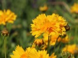 Großblumiges Mädchenauge 'Early Sunrise', Coreopsis grandiflora 'Early Sunrise', Containerware