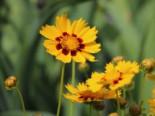 Großblumiges Mädchenauge 'Heliot', Coreopsis grandiflora 'Heliot', Topfware