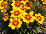 Großblumiges Mädchenauge 'Sonnenkind', Coreopsis grandiflora 'Sonnenkind', Topfware