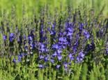 Großer Ehrenpreis 'Royal Blue', Veronica teucrium 'Royal Blue', Topfware