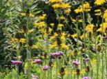 Großer Sonnenhut, Rudbeckia maxima, Topfware