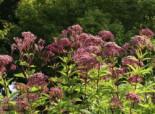 Großer Wasserdost 'Purple Bush', Eupatorium fistulosum 'Purple Bush', Topfware