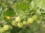 Grüne Stachelbeere 'Reflamba', 30-40 cm, Ribes uva-crispa 'Reflamba', Containerware