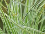 Grünweiße Segge 'Everest' ®, Carex oshimensis 'Everest' ®, Topfware