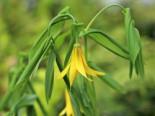 Hänge Goldglocke, Uvularia grandiflora, Topfware
