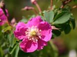 Hängefrucht-Rose / Alpen-Heckenrose, 40-60 cm, Rosa pendulina, Containerware