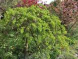 Hängender Erbsenstrauch, Stamm 80-90 cm, 100-125 cm, Caragana arborescens 'Pendula', Stämmchen