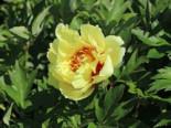 Halbstrauchige Pfingstrose 'Garden Treasure', Paeonia Itoh-Hybride 'Garden Treasure', Containerware