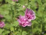Halbstrauchige Stockrose 'Parkrondell', Alcalthaea suffrutescens 'Parkrondell', Topfware
