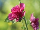 Halbstrauchige Stockrose 'Poetry', Alcalthaea suffrutescens 'Poetry', Topfware