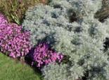 Halbstrauchiger Wermut 'Powis Castle', Artemisia arborescens 'Powis Castle', Topfware