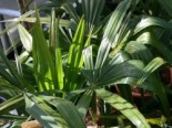 Hanfpalme, 25-30 cm, Trachycarpus fortunei, Containerware