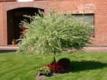 Harlekinweide / Zierweide 'Hakuro Nishiki', Stamm 100 cm, 120-150 cm, Salix integra 'Hakuro Nishiki', Stämmchen
