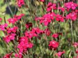 Heide-Nelke 'Brillant', Dianthus deltoides 'Brillant', Topfware