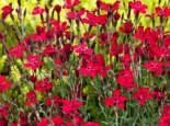Heide-Nelke 'Leuchtfunk', Dianthus deltoides 'Leuchtfunk', Containerware
