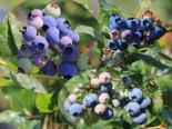 Heidelbeer-Drilling 'Earlyblue' ® / 'Denise Blue' / 'Elisabeth', 50-60 cm, Vaccinium corymbosum-Trio '3 Sorten in einem Topf', Containerware