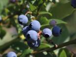Heidelbeere 'Earlyblue ® Frühreifend', 60-80 cm, Vaccinium corymbosum 'Earlyblue ® Frühreifend', Containerware