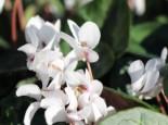 Herbst-Alpenveilchen 'Amaze Me White', Cyclamen hederifolium 'Amaze Me White', Topfware