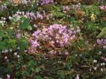 Herbst Alpenveilchen, Cyclamen hederifolium, Topfware