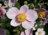 Filzige Herbst-Anemone 'Robustissima', Anemone tomentosa 'Robustissima', Topfware