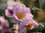 Herbst-Anemone 'Serenade', Anemone tomentosa 'Serenade', Topfware